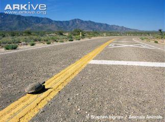 desert-tortoise-crossing-road