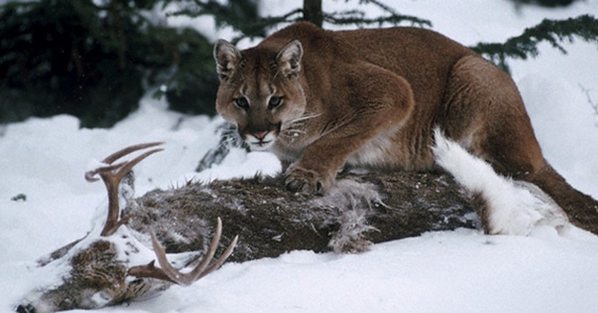 Short Story about a cougar, a deer and young hunters in Oregon