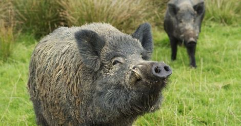 wild-boar-with-sow