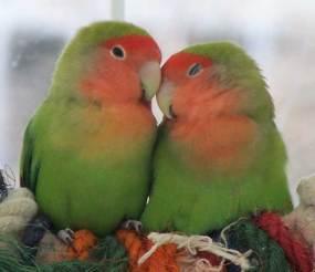 love-birds-4