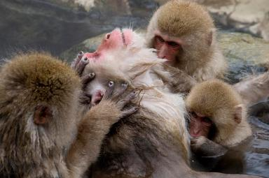 group-of-grooming-snow-monkeys-roy-toft